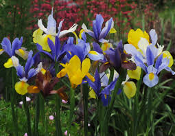Dutch-Iris