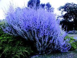 Perovskia-Blue-Spire